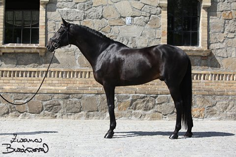 sold-to-czech-republic-shamane-x-sultan